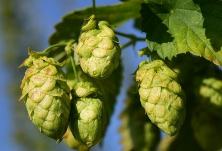 Where does this bitterness come from? The role of alpha acids and beta acids contained in hops
